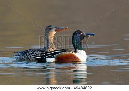 wild ducks on the lake (anas clypeata)