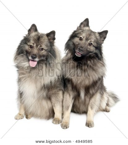 couple of two Keeshond (6 and 2 years old) in front of a white background poster