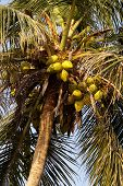 Zoomed shot of Tropical Coconut Tree top poster