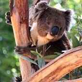 Smiling Koala in a Eucalyptus Tree Adelaide Australia poster