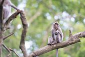 Lonely monkey macaque on tree branch in green forest poster
