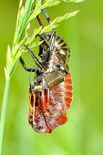 big-bellied cricket (Bradiphorus Dasiphus) poster