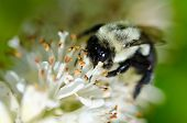 Bee Gathering Pollen from a White Flower poster