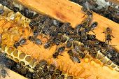 Worker Bees on Honeycomb poster