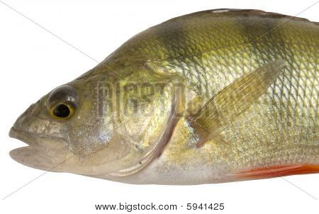 close up view of perch isolated on white poster