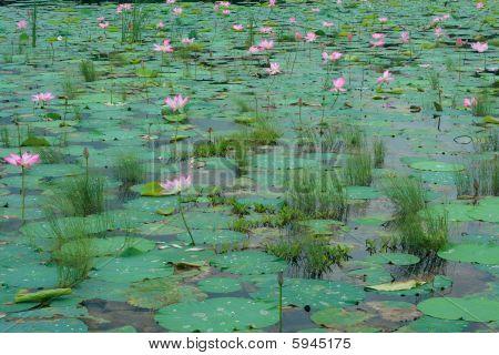 Lotus-Blüten in den Teich schwimmen.