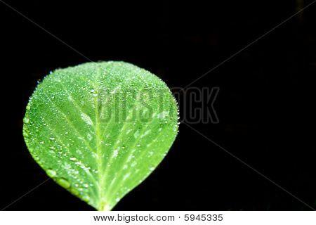 Snow Pea Leaf