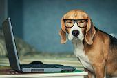 Sleepy beagle dog in funny glasses near laptop poster