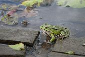 Green frog sitting on a wooden board on the river. poster