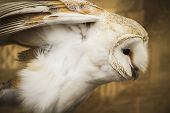 Owl portrait, golden owl, wildlife concept poster