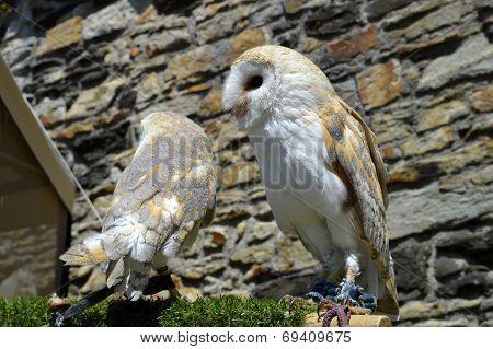 Two barn owls Latin name Tyto alba poster