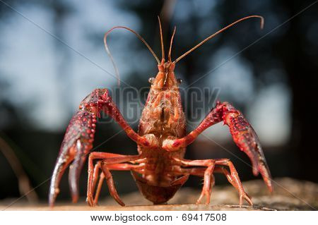 Portrait of procambarus clarkii a freshwater crayfish species native to the Southeastern United States but found also on Europe where it is an invasive pest poster