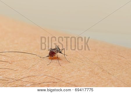 Mosquito Is Sucking Blood