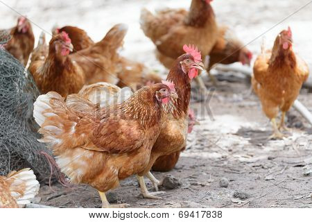 Happy Hens In Cage Free