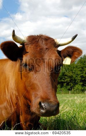 Sweet cow resting on a green field. Close-up.
