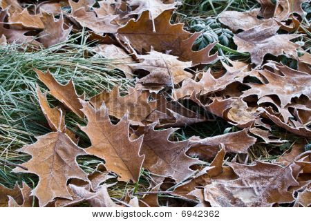 Leaves In A Hoarfrost