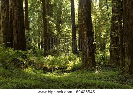 Redwood Grove along the Avenue Of The Giants, California