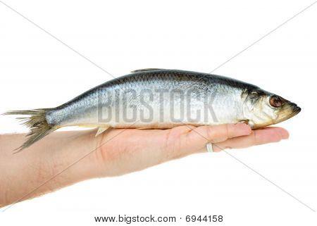 Salted Herring Lie In Hand