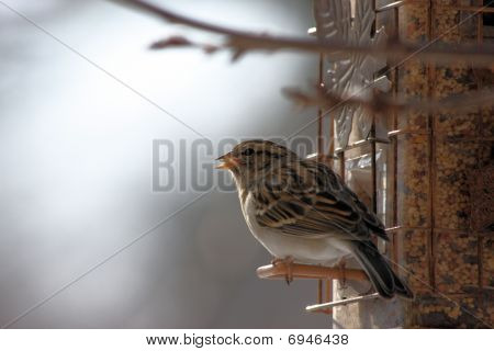 Common brown bird eating seeds from a feeder on a cold winter day. poster