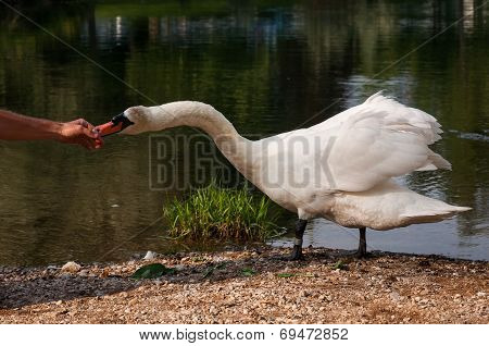 White Swam Eating From A Hand