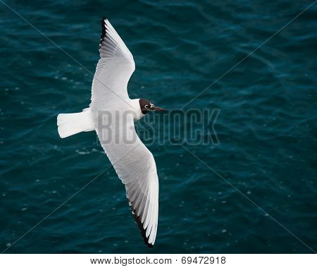 Seagull Flying Free