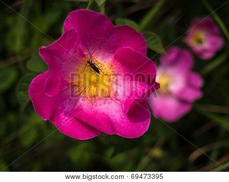 Bug On A Violet Flower