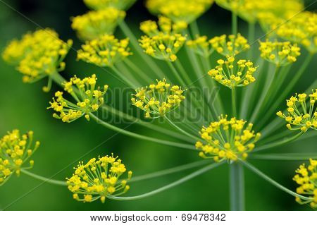 Dill Umbel Close-Up