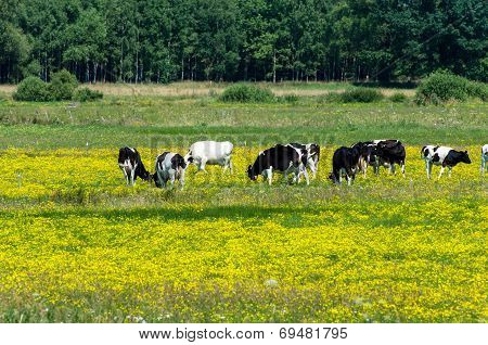 Cows Grazing On Yellow Blooming Meadow