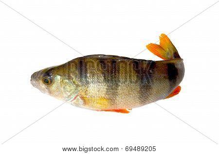 Perch Fish.