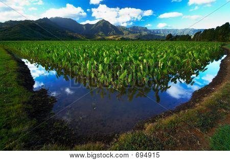 Reflection In Taro Fields