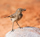 Familiar Chat sitting on a rock with an insect in its beak poster