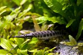 Spotted Gar (Lepisosteus Oculatus) hide under the plants poster