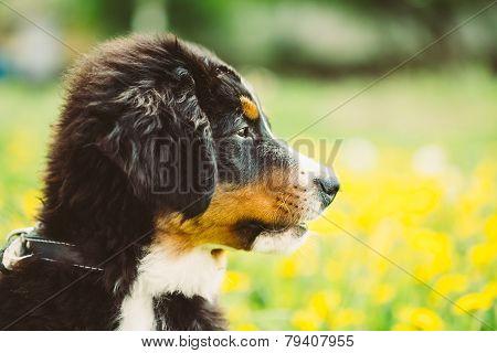 Bernese Mountain Dog Berner Sennenhund Puppy