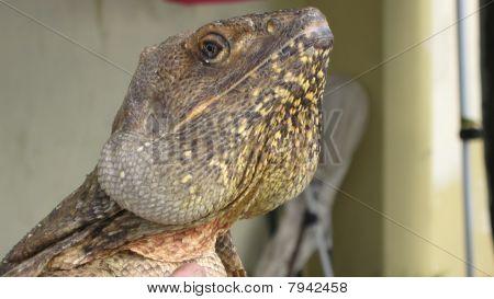 A Frilled Neck Lizard.