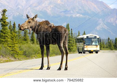 A Moose Blocks the Road