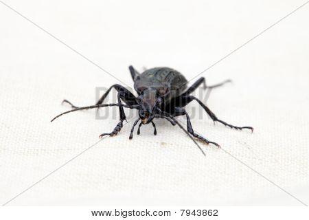 Portrait Of Ground Beetles Carabus Cancellatus