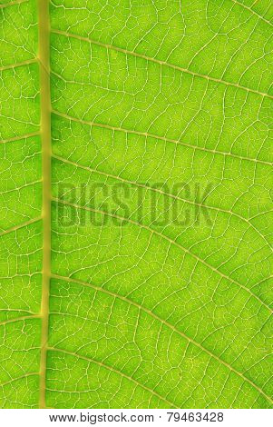 Green Leaf Texture and Background