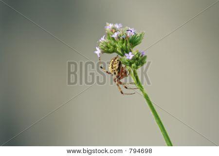 Spider on wildflower