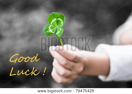 Four-Leaved Clover in a Child Hand - Good Luck