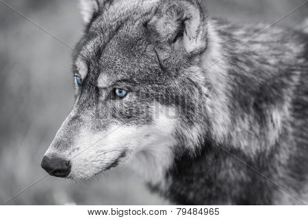 Black and white photograph of North American Gray Wolf, Canis Lupus, with blue eyes