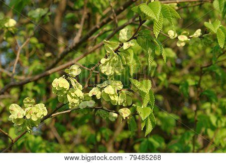 Smooth-leaf Elm Ulmus Carpinifolia