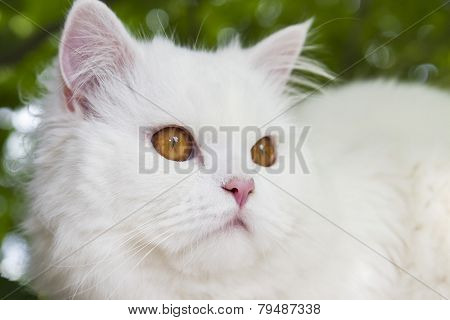 Angora, Cat, Fluffy, Soft,