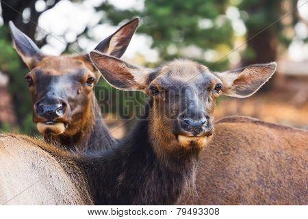 Curious Mule Deers