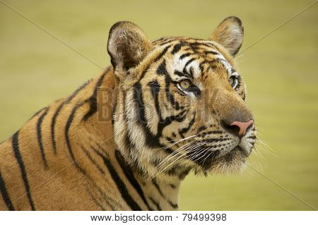 Adult Indochinese tiger.
