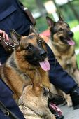 Alsatian police dogs lined up and waiing to perform poster