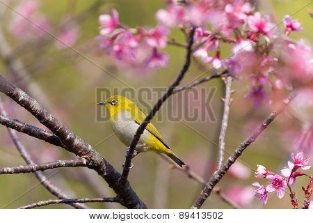 Oriental White-eye bird standing on a cherish tree branch