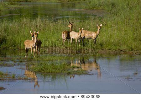 herd of Swamp Deer on the riverbank, Bardia, Nepal poster