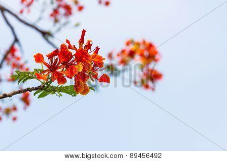 Orange Caesalpinia Pulcherrima