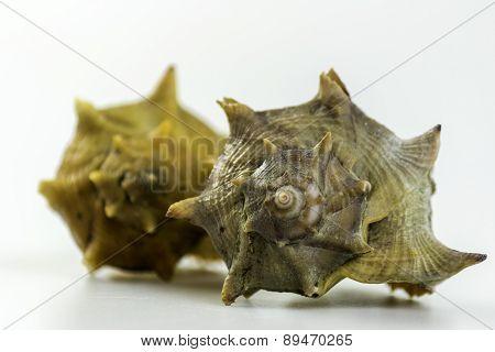 Bolinus Brandaris, An Edible Marine Gastropod Mollusk