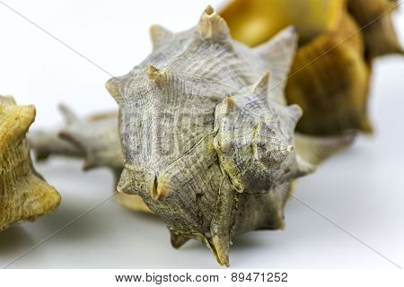 Bolinus brandaris an edible marine gastropod mollusk known as the purple dye murex or the spiny dye-murex is a species of medium-sized predatory sea snail in the family Muricidae. Harvest in South Portugal Atlantic cost. poster